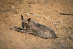 镶边鬣狗, Hyaena hyaena, Jhalana,拉贾斯坦,印度 图库摄影