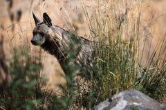 镶边鬣狗(Hyaena hyaena) 免版税库存图片