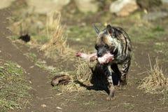 镶边鬣狗(Hyaena hyaena) 库存图片