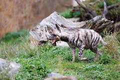 镶边鬣狗Hyaena hyaena 库存图片