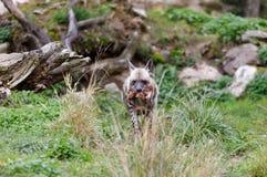 镶边鬣狗Hyaena hyaena 库存照片
