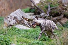 镶边鬣狗Hyaena hyaena 免版税库存照片