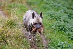 镶边鬣狗Hyaena hyaena 免版税库存图片