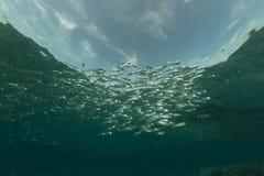 镶边鲭鱼在红海。 库存图片