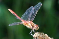 镶边Meadowhawk蜻蜓外形 免版税图库摄影