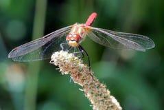 镶边Meadowhawk蜻蜓 图库摄影
