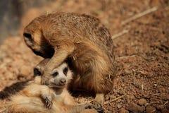 镶边meerkat 库存照片