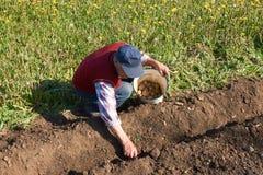 年长人在庭院床上放从一个桶的一个土豆种植的入土壤 免版税库存图片