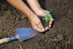 年长人种植在被耕种的土壤,园艺工具的一个南瓜新芽 图库摄影