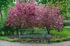 长凳和开花的苹果树 库存照片