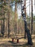 长凳和桦树 库存照片