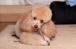 长卷毛狗吃一根干燥骨头 图库摄影