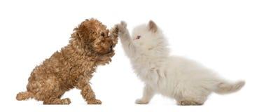 长卷毛狗小狗和英国长发小猫 库存图片