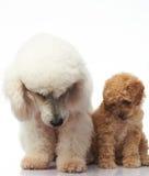 长卷毛狗小狗坐与妈妈 库存图片