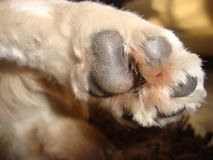 长卷毛狗小狗的爪子和脚印 免版税库存图片