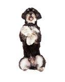 长卷毛狗混合品种狗乞求 免版税库存图片
