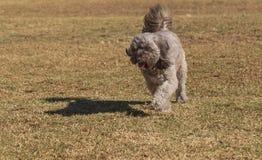 长卷毛狗混合狗 库存照片