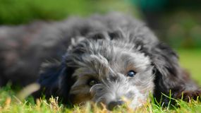 长卷毛狗特写镜头在草草坪的 图库摄影