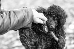 黑长卷毛狗用在他的嘴的一根棍子 库存图片