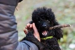 黑长卷毛狗用在他的嘴的一根棍子 免版税库存图片