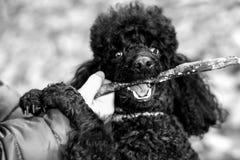 黑长卷毛狗用在他的嘴的一根棍子 免版税图库摄影