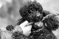 黑长卷毛狗用在他的嘴的一根棍子 免版税库存照片
