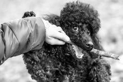 黑长卷毛狗用在他的嘴的一根棍子 图库摄影