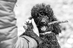 黑长卷毛狗用在他的嘴的一根棍子 库存照片