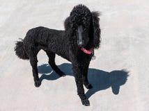 长卷毛狗,在白色的黑色 库存图片