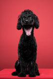 黑长卷毛狗画象在红色背景中 免版税库存照片