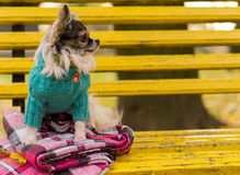 长发奇瓦瓦狗狗坐长凳 免版税图库摄影