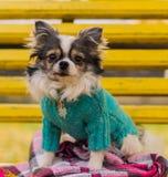 长发奇瓦瓦狗狗坐长凳 库存照片