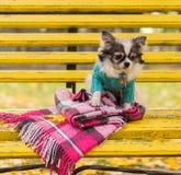 长发奇瓦瓦狗狗坐长凳 库存图片