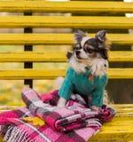 长发奇瓦瓦狗狗坐长凳 免版税库存图片