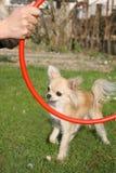 长发奇瓦瓦狗训练 库存照片