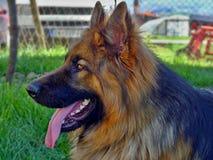 长发德国牧羊犬姿势 免版税库存照片