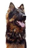 长发德国牧羊犬狗 免版税图库摄影