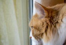 长发猫` s面孔的旁边外形 库存图片