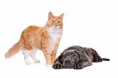 长发红色猫和藤茎corso小狗 免版税图库摄影