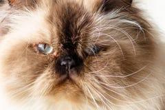 长发蓝眼睛的封印点喜马拉雅猫的接近的面孔 免版税库存照片