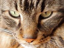 长发虎斑猫的有趣的神色 免版税库存照片