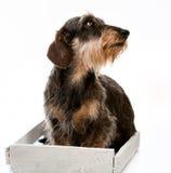 长发达克斯猎犬 免版税库存照片
