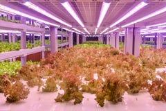 长叶莴苣增长与被带领的植物成长光自垂直的农业温室 免版税库存照片