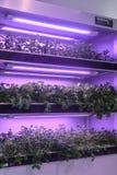 长叶莴苣增长与被带领的植物成长光自温室 免版税库存图片