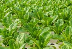 长叶莴苣种植园 免版税库存照片