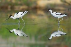 长嘴上弯的长脚鸟夫妇 免版税库存照片