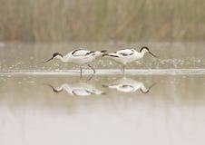 长嘴上弯的长脚鸟对 图库摄影