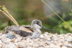 长嘴上弯的长脚鸟小鸡 一只逗人喜爱的幼鸟的美好的自然图象与u的 免版税库存照片