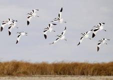 长嘴上弯的长脚鸟组 免版税库存图片