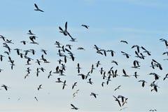 长嘴上弯的长脚鸟群  库存图片